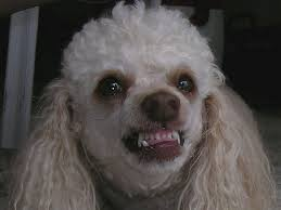 Angry Poodle