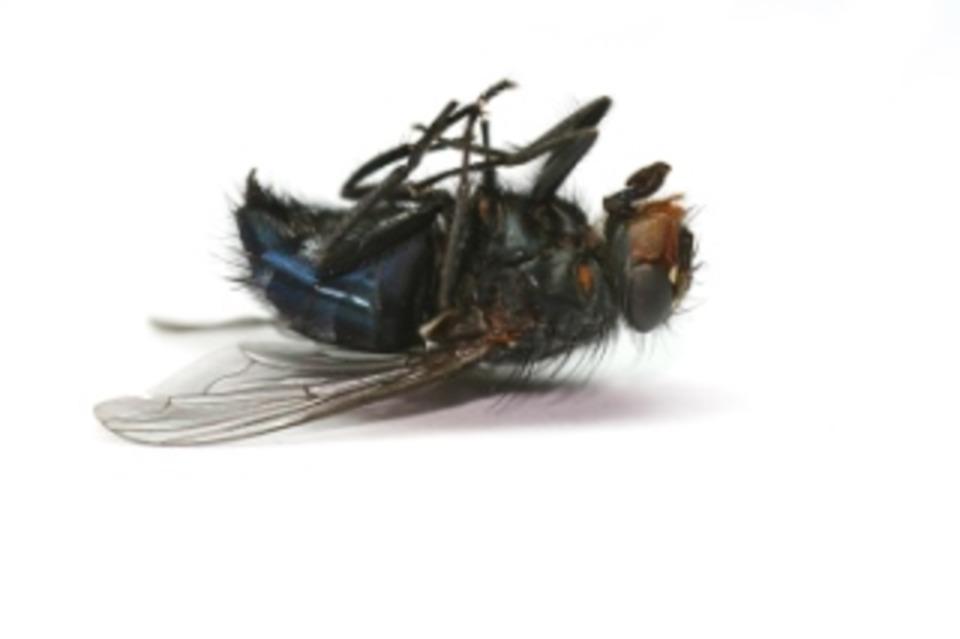 squashed bug